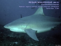 /images/espece/requin_bouledogue.jpg